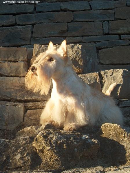 Les Scottish Terrier de l'affixe des temps anciens