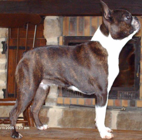 Chien - Elevage Du chevalier de saint maxime - Boston Terrier