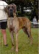 Dogue allemand - Royal ideal Thaloun