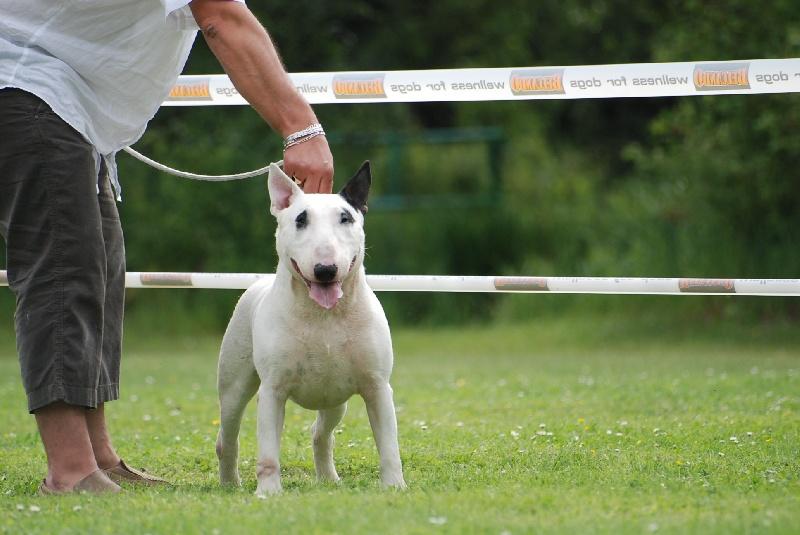 Les Bull Terrier de l'affixe du moulin d'allamont