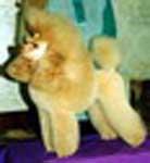 Caniche - Golden placido V.d. bockhoh