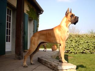 Les Dogue allemand de l'affixe des Princes de Cocagne