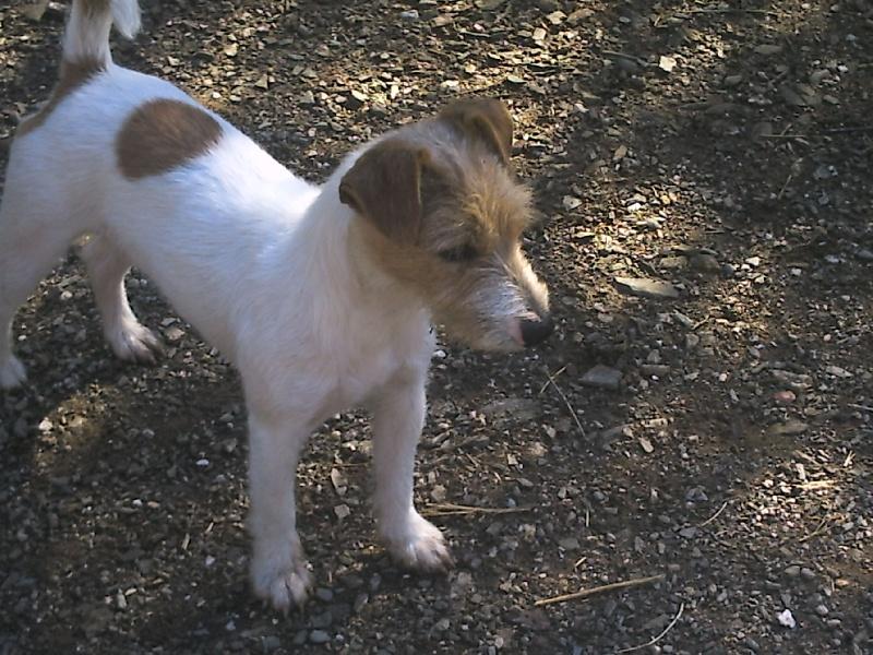 Les Jack Russell Terrier de l'affixe de la Forêt des p'tits loups