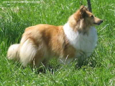 Les Shetland Sheepdog de l'affixe de Moorstile