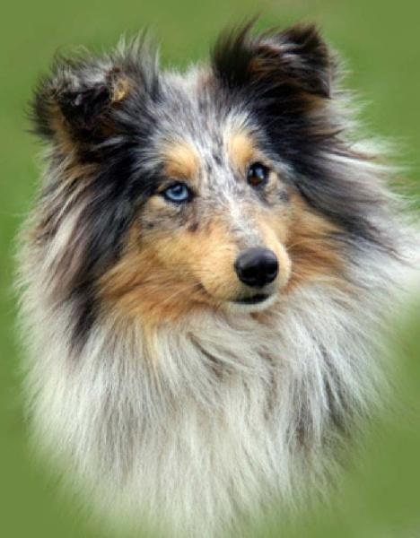 Les Shetland Sheepdog de l'affixe des étangs sauvages