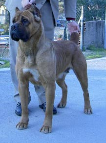 Cane Corso - CH. Rothorm Jy Dream Absolute vamp