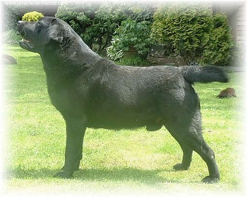 Labrador Retriever - CH. Foulby Regan