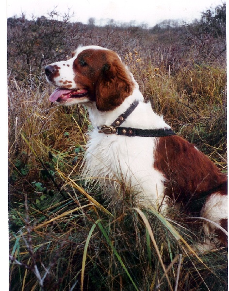 Welsh Springer Spaniel - CH. Red and white's Surtsey superior