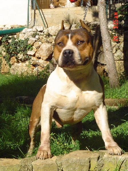 Les American Staffordshire Terrier de l'affixe du Sarmizegetusa Regia