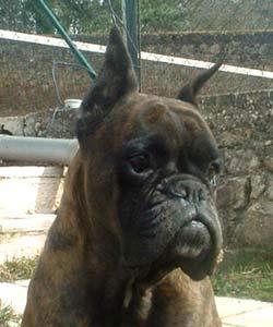 Lethie des jardins de passiflore chien de race toutes for Boxer jardin de passiflore