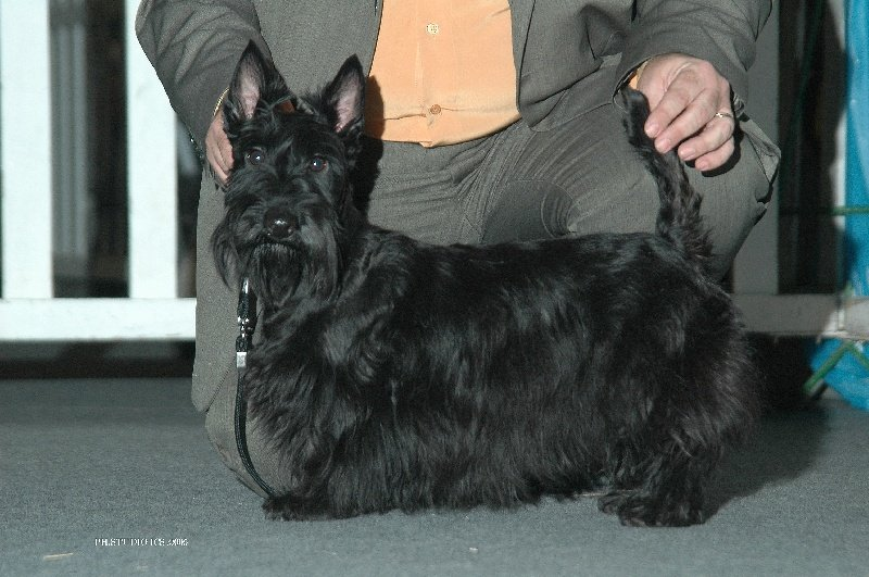 Les Scottish Terrier de l'affixe du cercle des gentlemen terriers