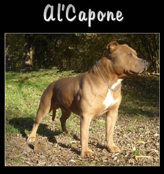 Les American Staffordshire Terrier de l'affixe de l'exil des titans