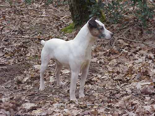 Les Jack Russell Terrier de l'affixe Du site corot