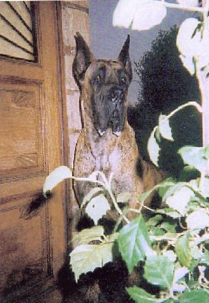Dogue allemand - Renzo
