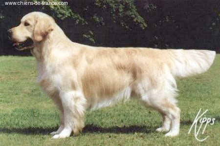 Golden Retriever - CH. Stanroph Squadron leader