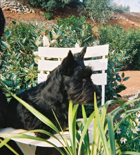 Les Scottish Terrier de l'affixe Pipe Major
