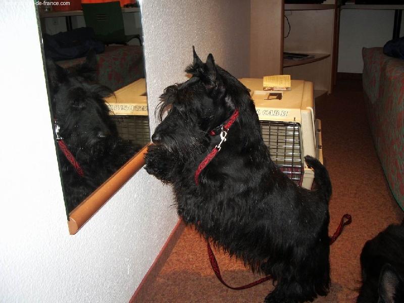 Scottish Terrier - Sibomec du manoir des presles