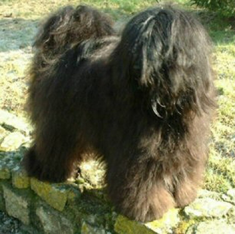 Les Terrier tibetain de l'affixe Du vent levant