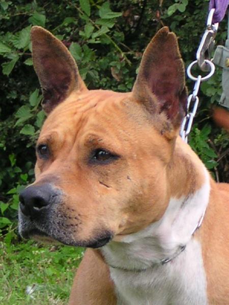Les American Staffordshire Terrier de l'affixe De lilo pyrrhate