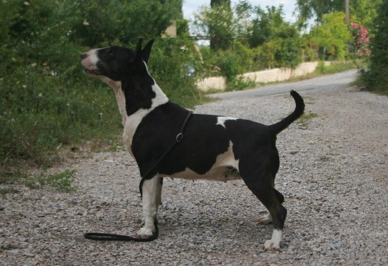 Les Bull Terrier de l'affixe lou Prouvencaou