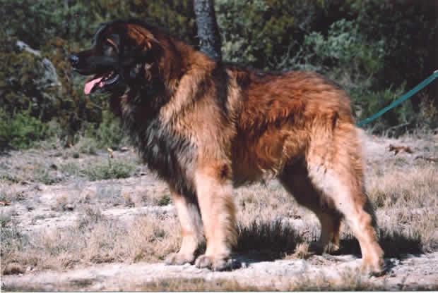 Les Leonberger de l'affixe de l'arche de caux