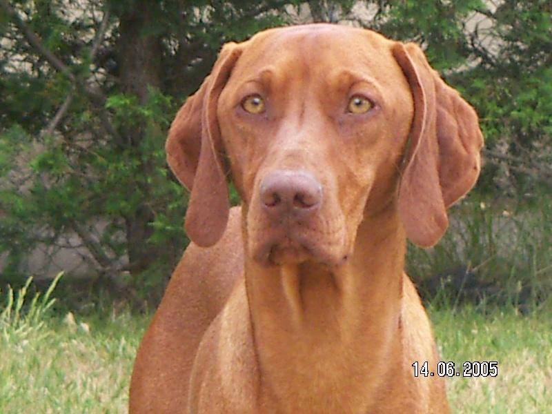volney du champ cleuet chien de race toutes races en tous departements france inscrit sur chiens. Black Bedroom Furniture Sets. Home Design Ideas