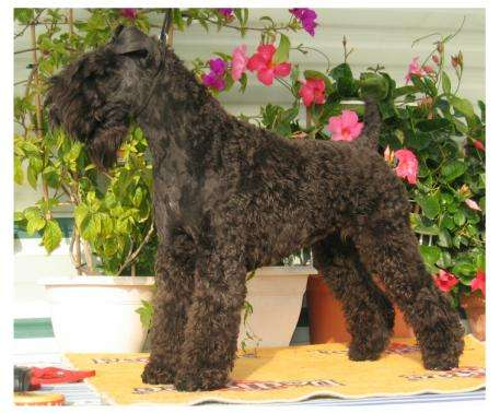 Les Kerry Blue Terrier de l'affixe Blue Celtics