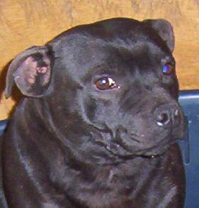Les Staffordshire Bull Terrier de l'affixe de l'Escane Crabe