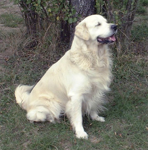 Les Golden Retriever de l'affixe du bassin des cas d'or