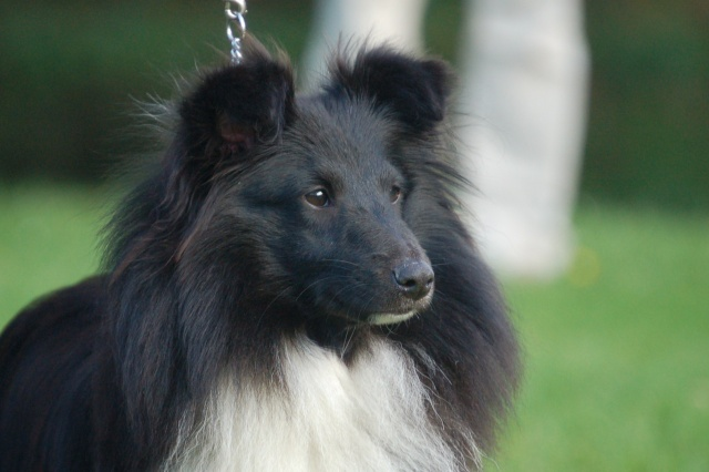 Les Shetland Sheepdog de l'affixe Dream From Highland's