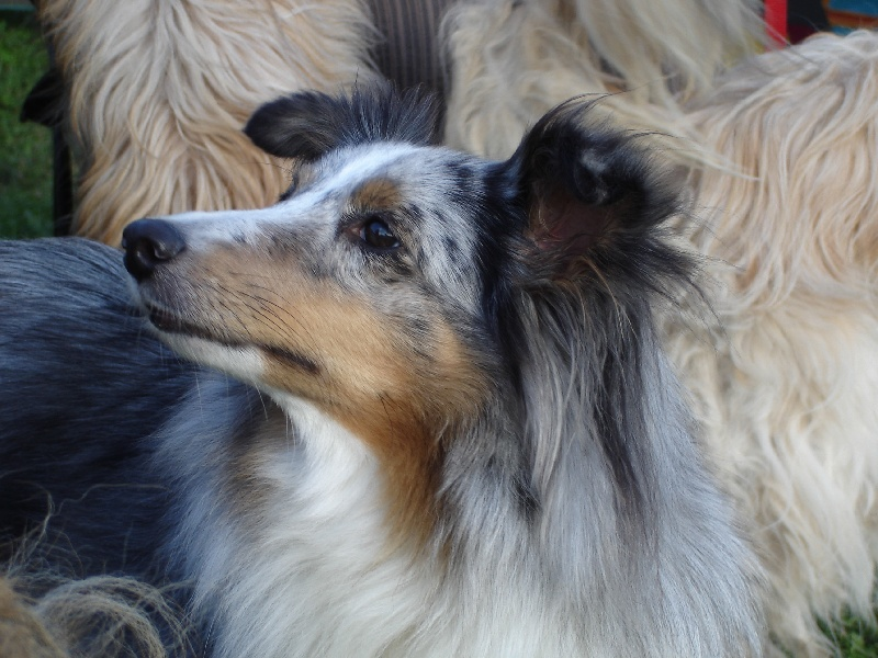 Les Shetland Sheepdog de l'affixe de la vallee de l'ailette