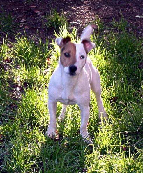 Les Jack Russell Terrier de l'affixe de l'antre des jacks