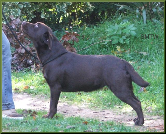 Les Labrador Retriever de l'affixe du Passage des Vaudois