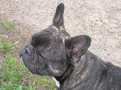 ombre bulldog francais
