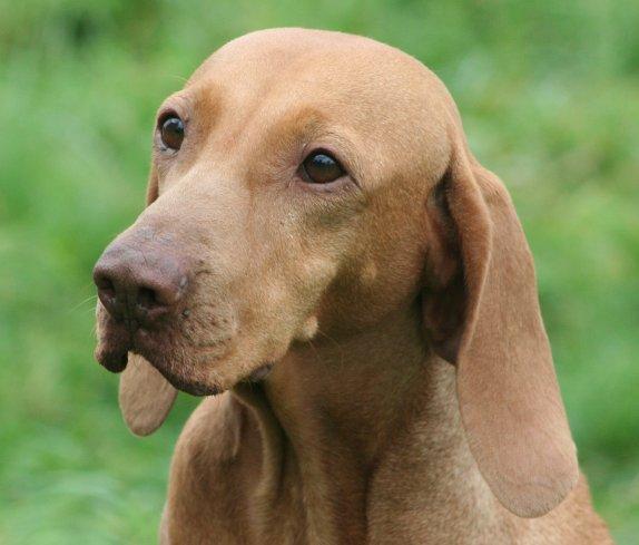Rangoon de la sainte couronne chien de race toutes races en tous departements france inscrit sur - Braque hongrois a poil court ...