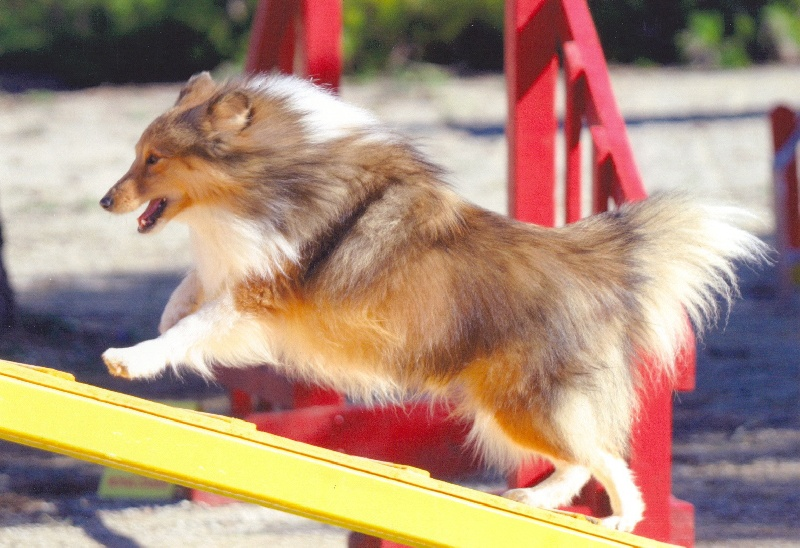 Les Shetland Sheepdog de l'affixe Of still river