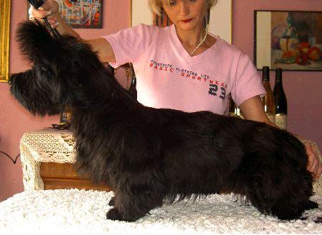 Le Standard de la race Skye Terrier sur Atara.com