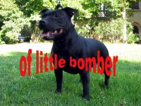 Les Staffordshire Bull Terrier de l'affixe of little Bomber