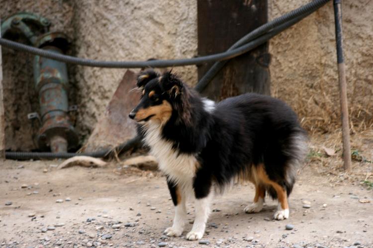 elevage les jardins de becky pension canine et f line et eleveur de berger des shetland sheepdog. Black Bedroom Furniture Sets. Home Design Ideas