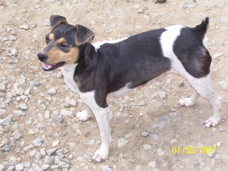 Le Standard de la race Terrier Bresilien sur Atara.com