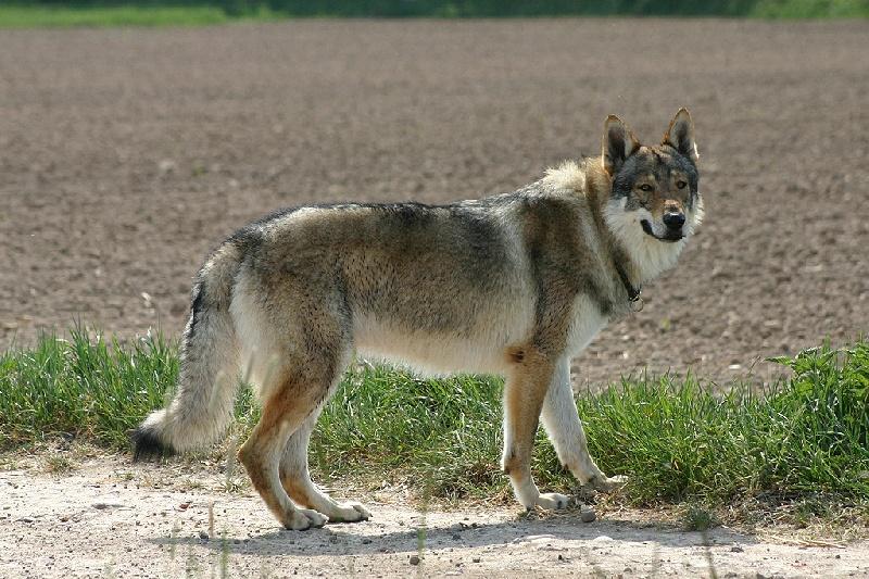 Populaire Accueil - Elevage Des Plaines de l'Est - eleveur de chiens Chien  UW28