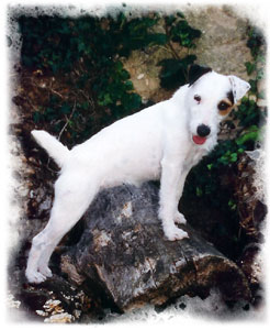 Parson Russell Terrier - CH. O'great roche des Geguis