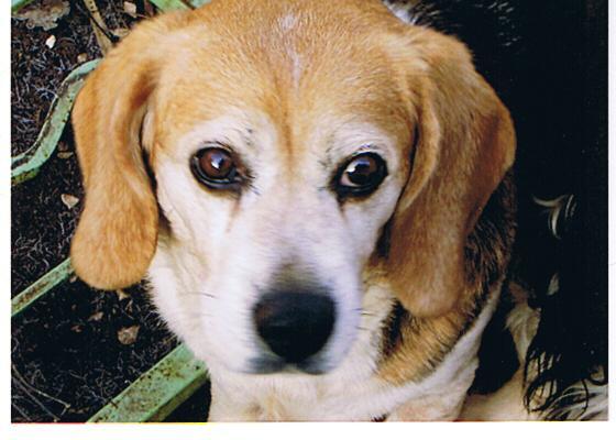Les Beagle de l'affixe des collines mimetaines