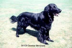 Flat Coated Retriever - CH. Cleovine Derrynane