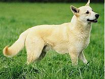 Les Canaan Dog de l'affixe de Solemel