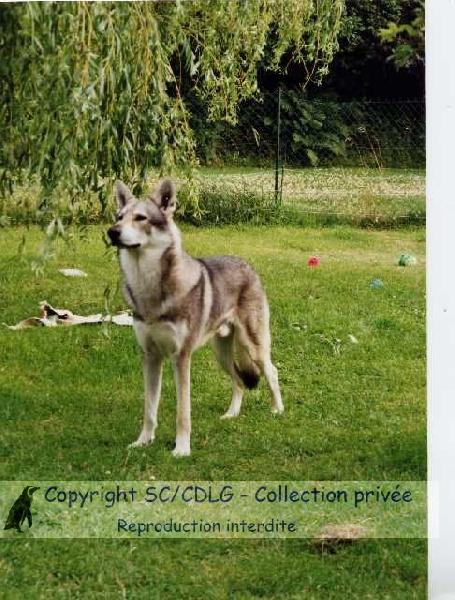 Les Chien-loup de Saarloos de l'affixe de la compagnie du loup gris