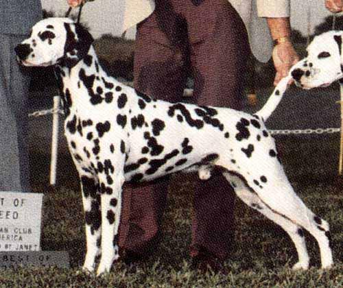 Le Standard de la race Dalmatien sur Atara.com