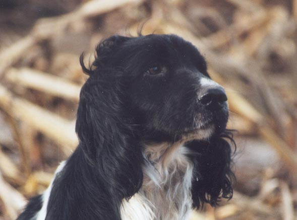 Les English Springer Spaniel de l'affixe of Glharama