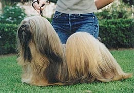 Lhassa Apso - Regent-of-thang-ka de Koempfer