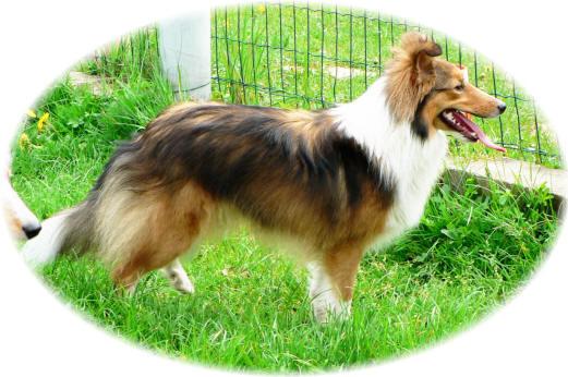 Les Shetland Sheepdog de l'affixe des deux étoiles